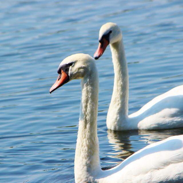"""Mute Swan (Cygnus olor)."" stock image"