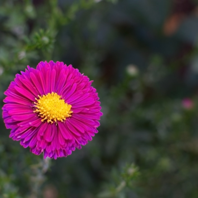 """""""Pink aster flower"""" stock image"""