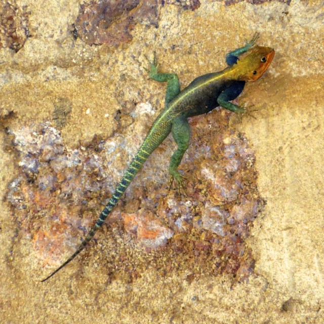 """African lizard"" stock image"
