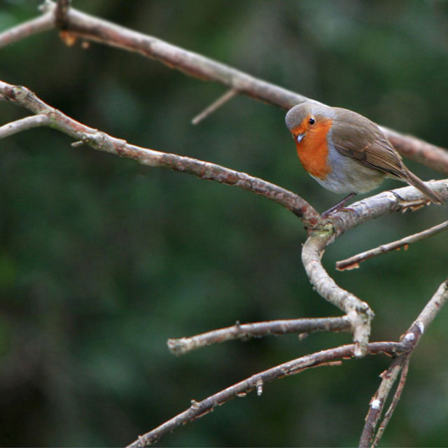 """A Robin sat on a branch"" stock image"