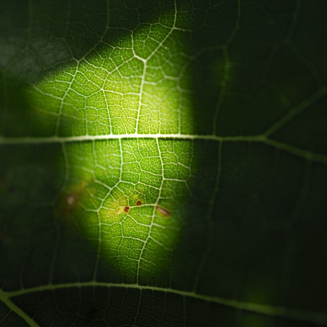 """leaf vein"" stock image"