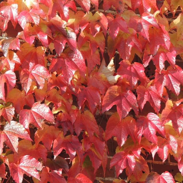 """""""Light on Autumn Boston Ivy"""" stock image"""