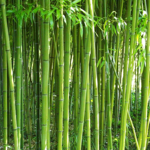 """bamboo"" stock image"
