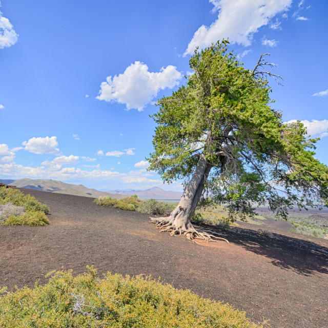 """""Sentinel Tree"", Inferno Cone, Craters Of The Moon National Monument, ID"" stock image"