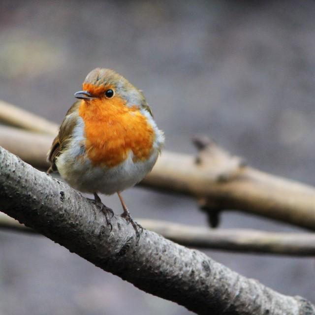 """Robin (Erithacus rubecula)."" stock image"