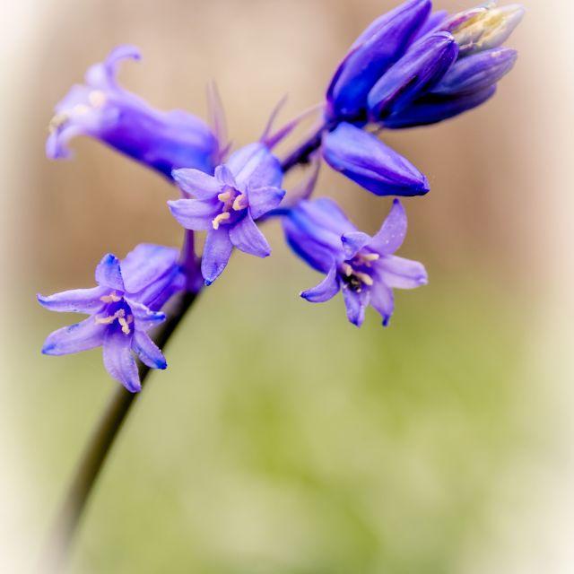 """""""Bluebell Art"""" stock image"""