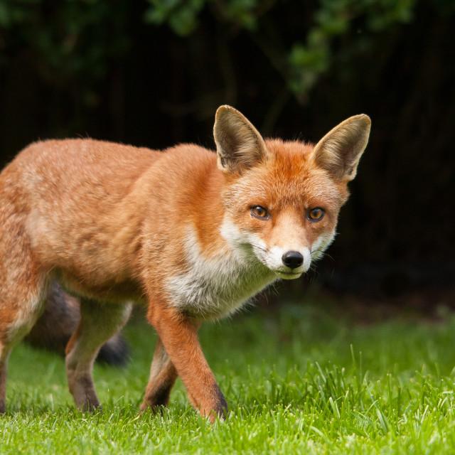 """urban red fox"" stock image"