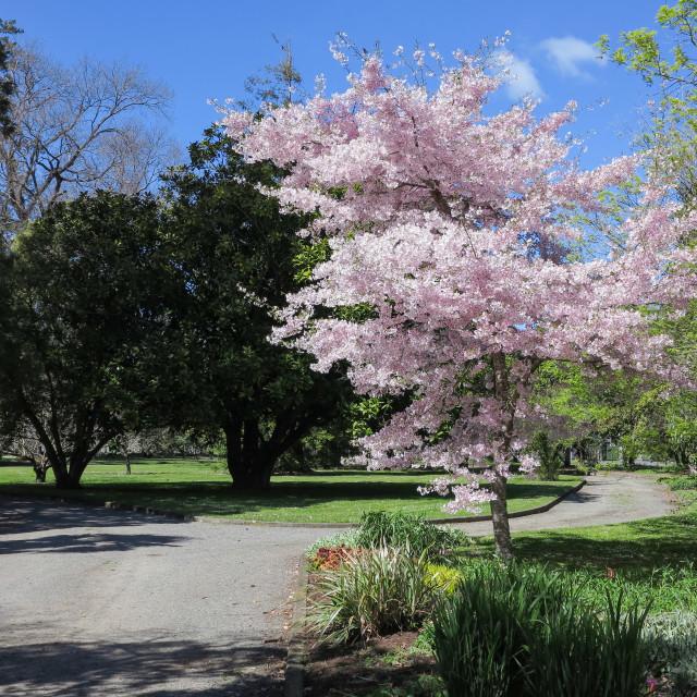 """""""decorative cherry tree"""" stock image"""