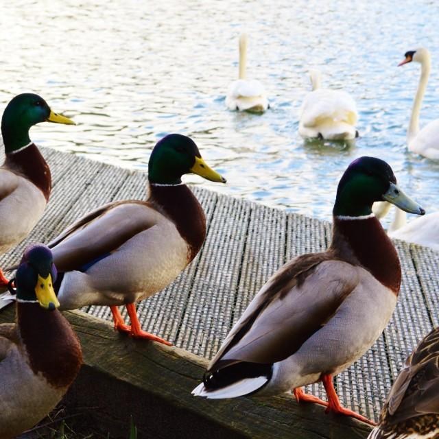 """Ducks watching Swans."" stock image"