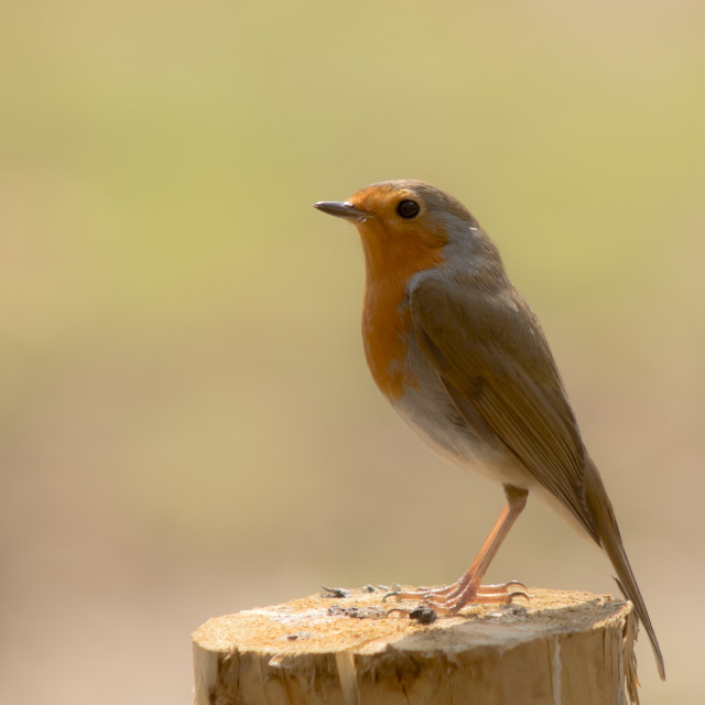 """Robin Perch"" stock image"