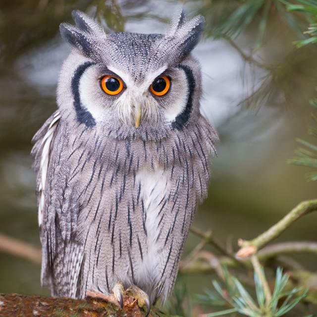 """white faced scops owl"" stock image"