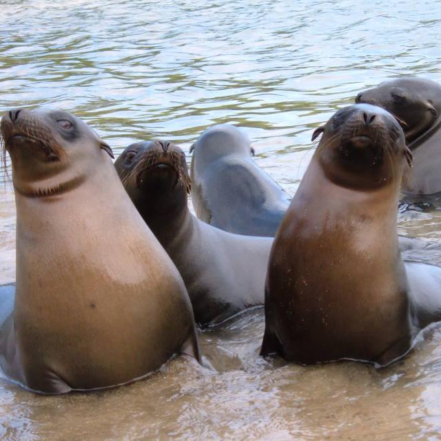 """Galapagos sea lions"" stock image"