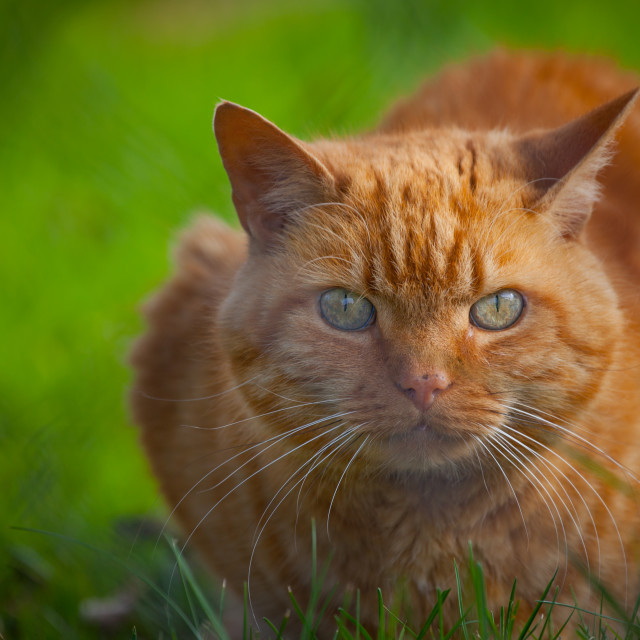 """Red-haired cat"" stock image"