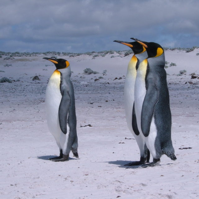 """King Penguins, Volunteer Point"" stock image"