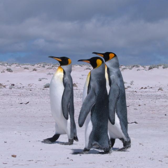 """King Penguins, Volunteer Point"" stock image"
