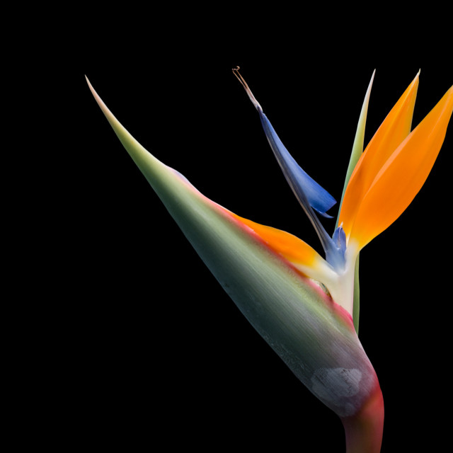 """Bird of Paradise flower"" stock image"