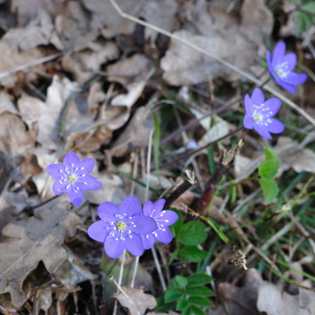 """Blue wildflowers Hepatica"" stock image"