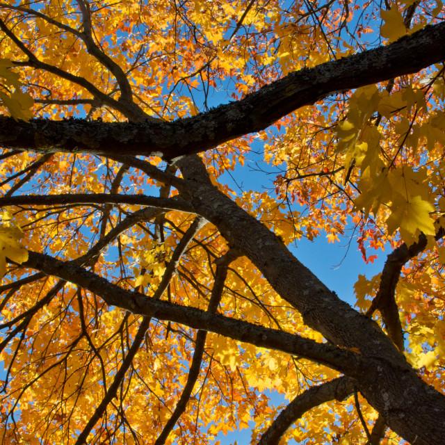 """Colorful autumn tree"" stock image"