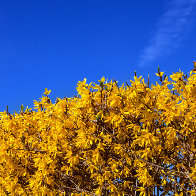 """Forsythia in full flower"" stock image"
