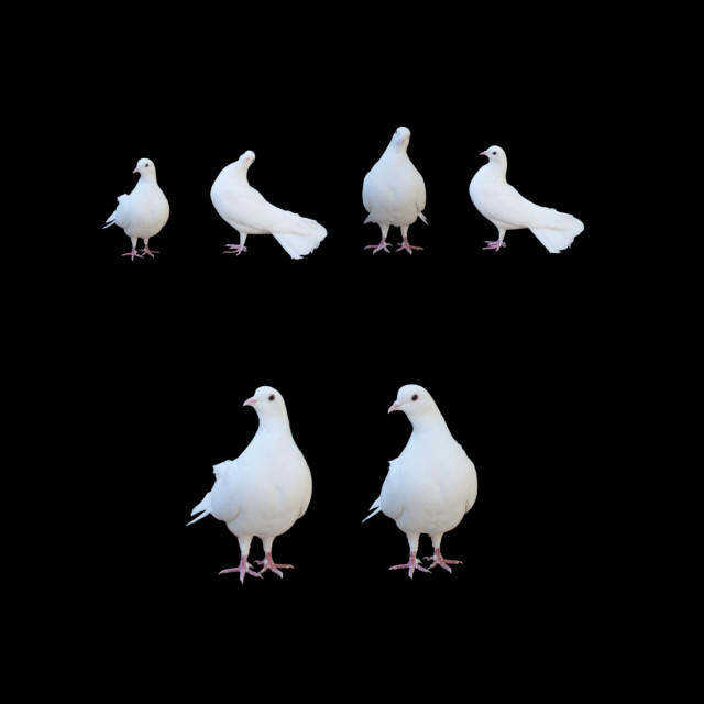 """Six white doves"" stock image"