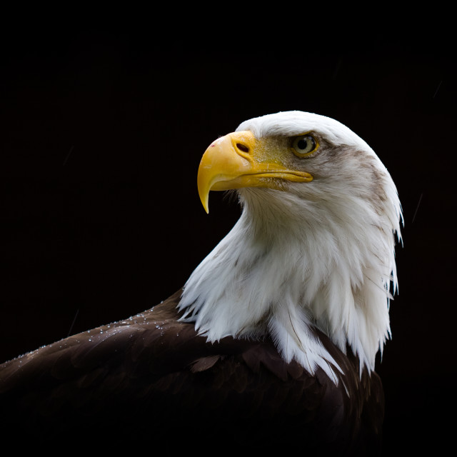 """American Bald Eagle"" stock image"