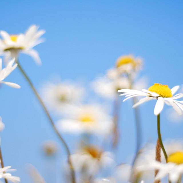 """Summer Daisy"" stock image"