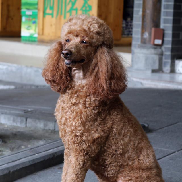 """""""Poodle sitting upright"""" stock image"""