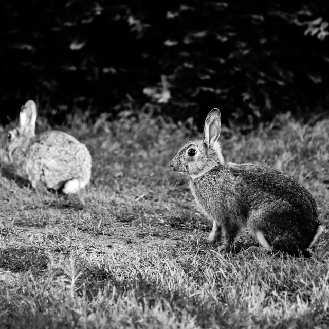 """Two rabbits"" stock image"