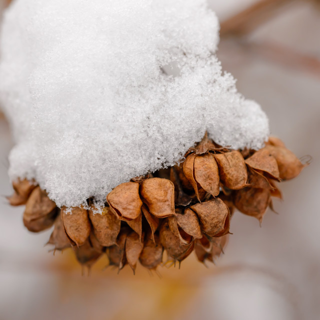 """""""Snow on Seeds in their Pods"""" stock image"""