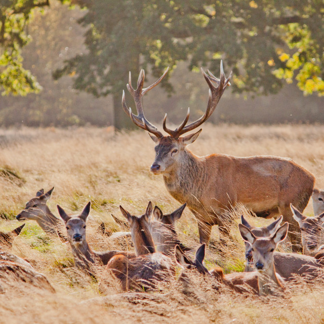 """Stag with harem"" stock image"