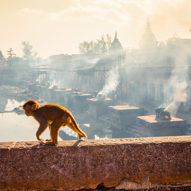 """Young Monkey in Nepalese Temple"" stock image"