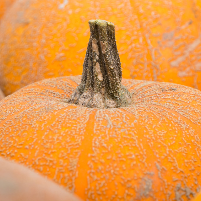 """Pumpkin"" stock image"