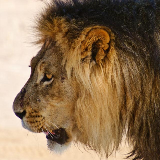"""""""Black-maned Kalahari Lion"""" stock image"""