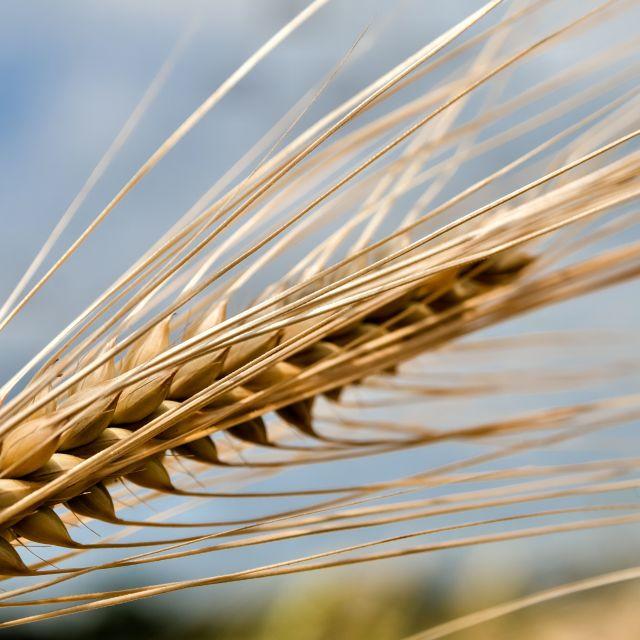 """Ear of Barley"" stock image"