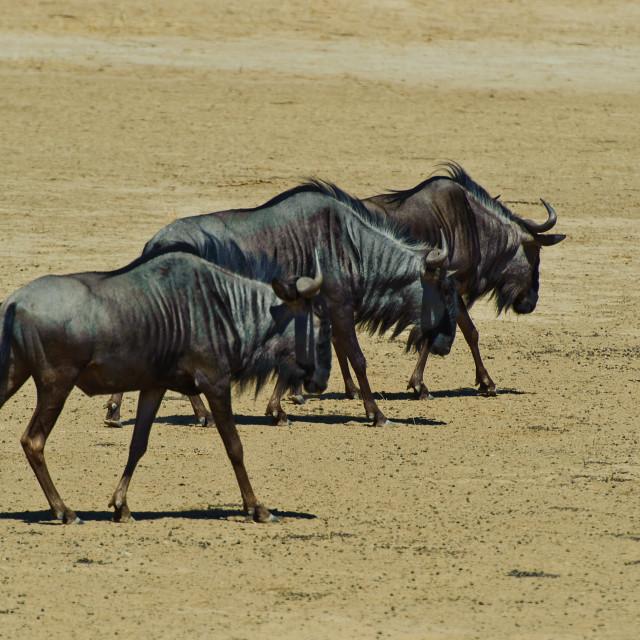 """Blue Wildebeest - Gnu"" stock image"