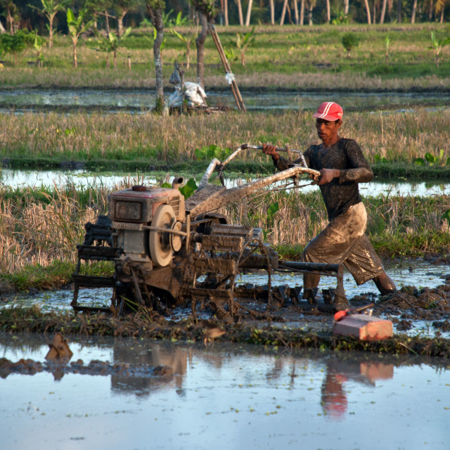 """tending the rice fields"" stock image"
