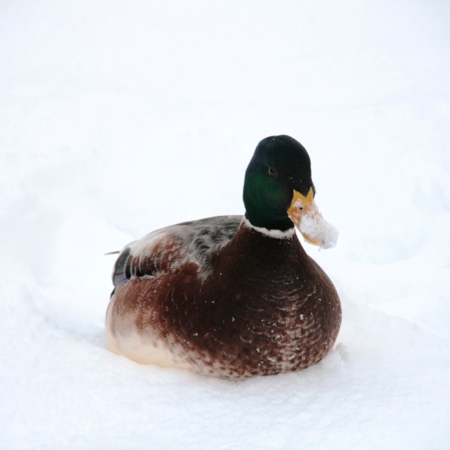 """Duck on snow"" stock image"