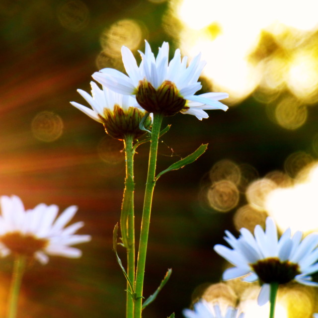 """Sun Daisies"" stock image"