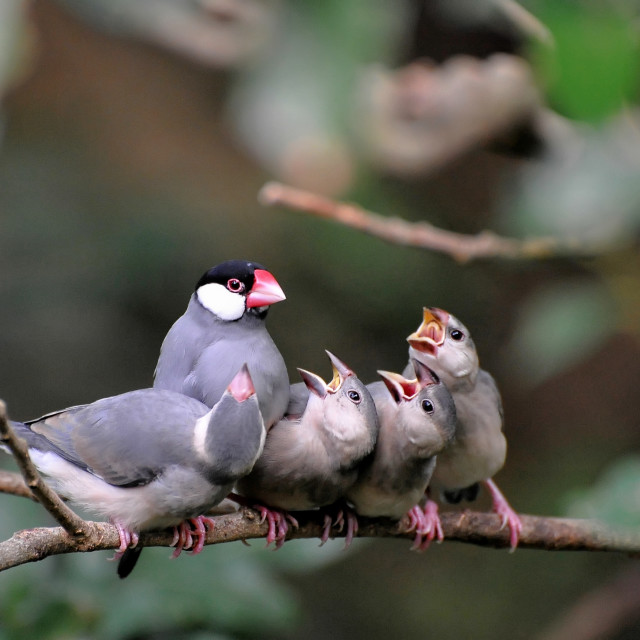 """Java Sparrow"" stock image"
