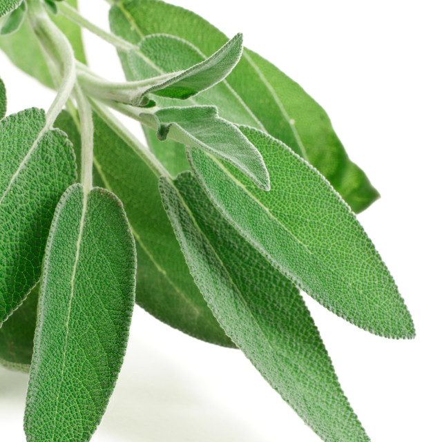 """fresh sage"" stock image"