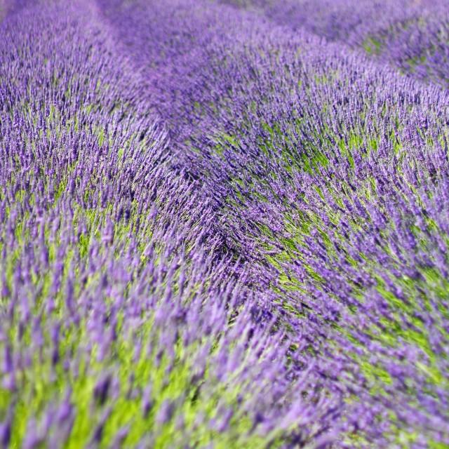 """""""Violet Lavender Field Bloom"""" stock image"""