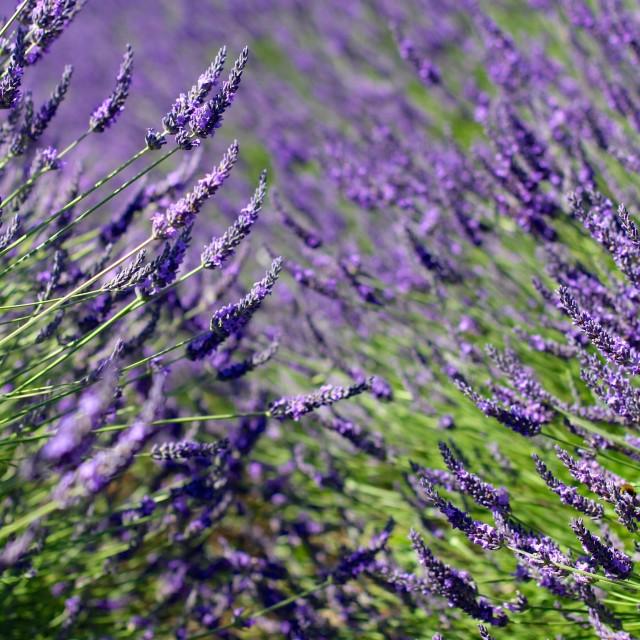 """Violet Lavender Flowers in Full Bloom"" stock image"