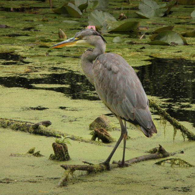 """Heron at the London Wetland Centre"" stock image"
