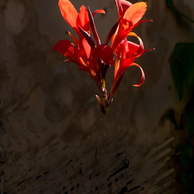 """Red chiaroscuro flower"" stock image"