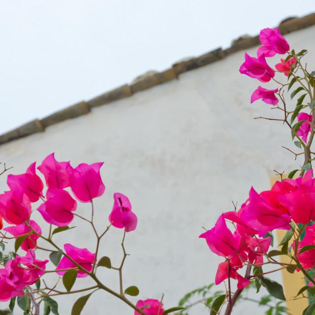 """""""Bougainvillea flower wall"""" stock image"""