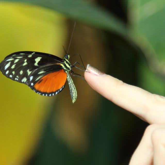 """""""Black-orange butterfly resting on fingertip"""" stock image"""