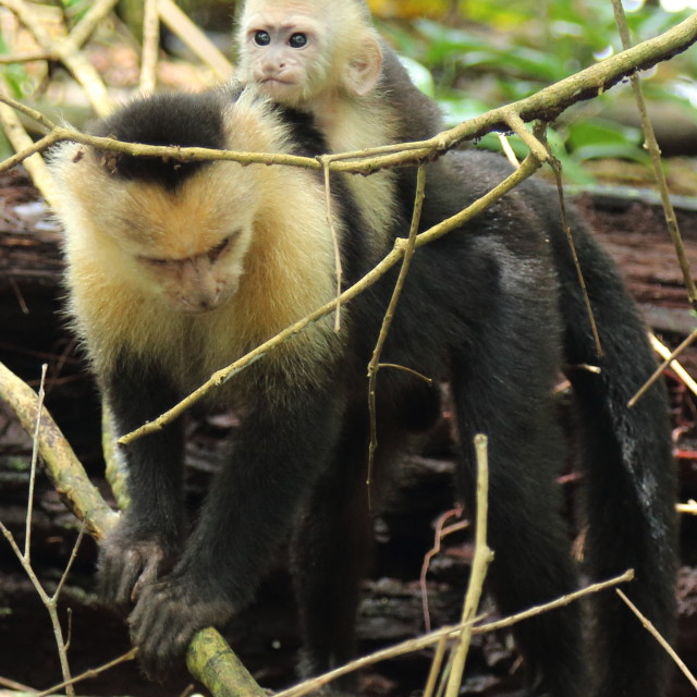 """Mother capuchin monkey and baby, Costa Rica"" stock image"