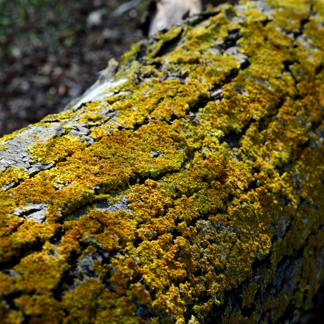"""Yellow Moss on Tree Trunk (2)"" stock image"