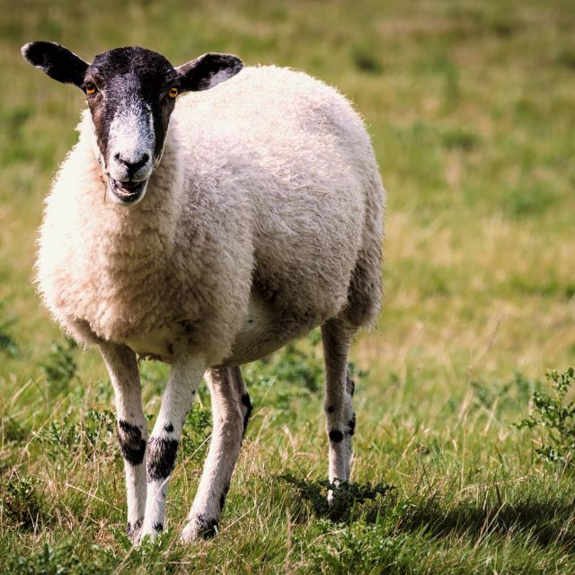 """Lone sheep"" stock image"
