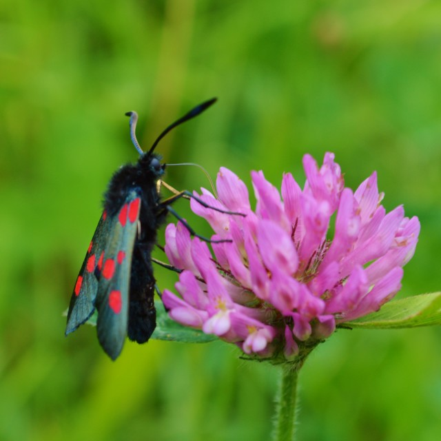 """Six-Spot Burnet Moth."" stock image"